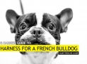 Best Harness for a French Bulldog – Our Top 6 for Your Frenchie