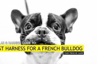 Best French Bulldog Harness – Our Top 6 Picks for Frenchies
