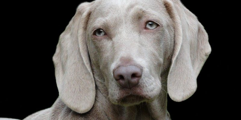 Best Harness for Weimaraners (Our Top 6 for 2019)