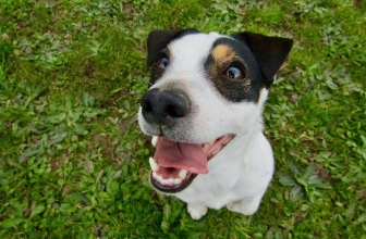 6 Best Jack Russell Harnesses – Tried and Tested