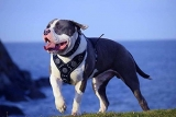 Best Leather Dog Harness (Top 6 Trending Sellers in 2019)