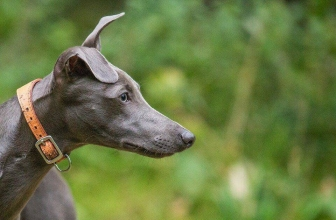 5 Best Whippet Harnesses – Tried and Tested