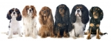 Best Harness for Your Cavalier King Charles Spaniel – Our Top 6