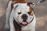 Best Harness for Bulldogs (Our Top 7 English Bulldog Harnesses for 2019)