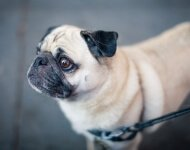 Best Harness for Pugs – Tried and Tested