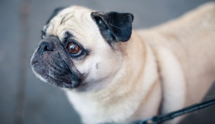 Best Harness For Pugs (Our 2019 Top 6 Pug Harnesses – Reviewed)