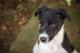 4 Best Lurcher Harnesses – Tried and Tested