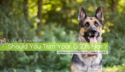 Should You Cut or Shave Your German Shepherd's Hair?